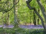 Blooming bluebells in the Elan Valley