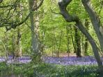 Blooming bluebells in the Elan Valley