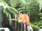 Red squirrel in cottage garden