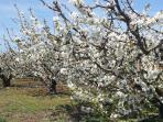 Meynes est au coeur des cerisiers, abricotiers et oliviers  Des cerises dès la mi-mai