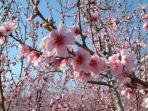 Peach blossom is an incredible sight for the Spring visitor