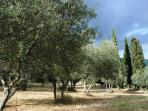 particular of the the olive grove