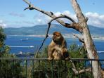 Barbary ape on Gibraltar - very entertaining