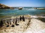 Penguins near to Fisherman's Beach, Murdoch Valley North