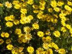 Exquisite Namaqualand Daisies up the West Coast of the Cape