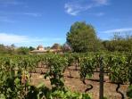 La vigne du Domaine de Pémejot