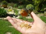 Feeding time for the Robins!