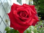 Red Rose in back garden
