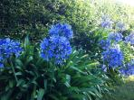 Agapanthus at the side of the driveway