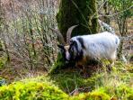 resident wild mountain goats