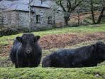 welsh black cows