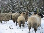 Our favourite sheep on a wintery day