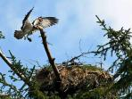 Guest photo of Osprey at nearby nest
