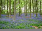 Bluebells in Erlestoke Woods