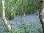Bluebell Walk in the Spring