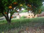 Los naranjos cargados de mandarinas