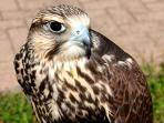 falco nel suo habitat