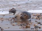 A great day out - take the boat to Blakeney Point to see the seals !