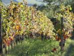 Our vineyard for Chianti Wine at Ancora del Chianti Eco - Friendly B&B in Tuscany
