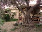 all'ombra di un ulivo centenario