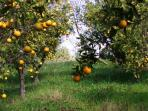 Orange Groves at Quinta Mimosa