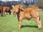 South Devon Calf