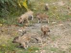 Baby wild boar are so sweet, pity they grow up to be so destructive