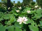 stagno con fior di loto