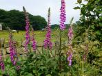Foxgloves and horses from the local riding school