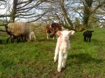 New born lambs at Ta Mill in Spring