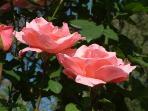 Capulet verandah roses