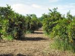 Orange Groves on the Way to The Private Beach
