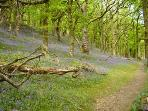 A fine dispay of bluebells at the nearby Dinas RSPB reserve