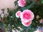 Le nostre rose