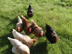 Hens for on site free range eggs