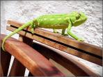 chameleon in Castillejos Retreat