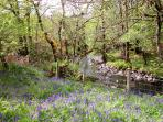 Bluebells next to our little river