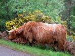 Highland Cow at the entrance to the Lodges