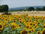 Fantastic fields of golden sunflowers begin just over the nearby border into the Loire Valley