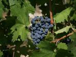 la mia uva