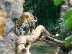 Jaguar Cat at Loro Parque....:)