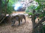 Jaguar Cat Take II at Loro Parque....:)