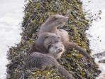 Otters by the house