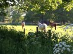 Horses in the fields  just near the cottage, with a footpath for a relaxed early evening stroll.
