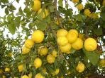 Lemon Tree-Help Yourselves-cant get much fresher than this for your G and T! Take some home too!
