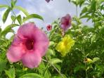 fleur Alamanda du jardin