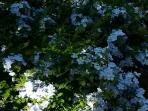 Plumbago du jardin