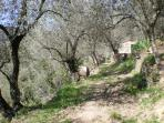 walk through the olive groves