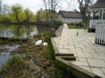 Swans nesting by patio.Rotary clothes line.