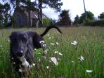 Chasing daisies in one of our fields